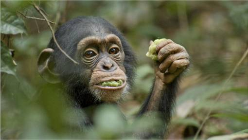 Disney-Nature-Chimp-Film