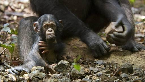 Disney-Nature-Chimpanzee